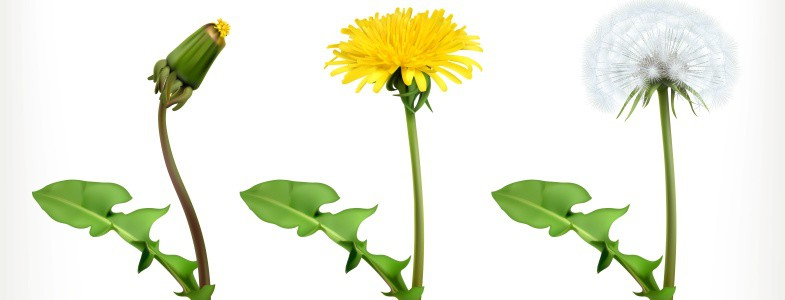 Do Pre-Emergents Stop Dandelions?