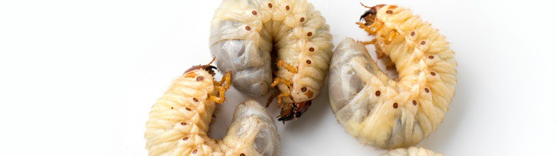 Why Grub Worm Preventatives Are Important